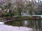 Pond with Snow and Cherry Blossom