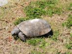 Elusive gopher turtle