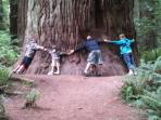 Big Redwood Tree in Stout Grove