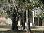 Spanish moss covered tree in the shared courtyard
