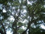 Oak trees canopy