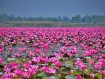 The nearby pink lotus lake