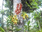 Orchids growing off the coconut tree