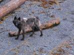 Wolf at the Beach - Cygnet Cove Beach