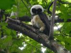 Shh... walk quietly on our forest trails and you too may get to see this Spectacled Owl