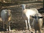 Come help us feed our curious sheep, Francisco, Campana & Marilyn and our ducks, geese, turkeys, etc.