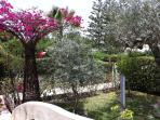 Bougainvillea Topiary
