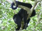 The howler Monkeys will entertain you deckside