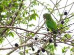 Some evenings 15 pairs of Parrots will land in the trees beside the house