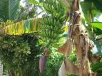 Banana tree at the villa