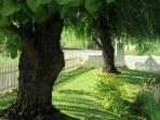 Spectacular summer old growth Willow Trees on side