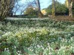 The Snowdrops in the woodland garden