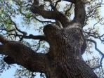 A majestic 350 year old live oak over the back patio
