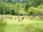 Elk viewing from your window