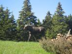 Garden moose is loose!