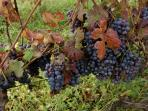 Close to us there are many grapes cultivations to get local Dolcetto and Barbera wines