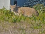 One Of The Neighborhood Bobcats