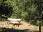Deer roaming by our picnic table overlooking the river