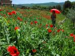 poppies in spring-a great time in Tuscany