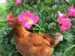 my hen