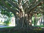 Banyan tree in downtown Venice