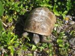 native gopher tortoises