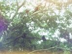 the Monkeys attacking the Mango tree