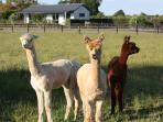 Tom, Dick & Harry - our resident alpacas