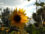 Nothing sums up Flagstaff summers like the Sunflower