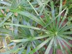 Many interesting plants in the garden: Shown here Papyrus plant. Others include insulin plant, anamu