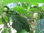 Noni fruit in our side garden... said to possesses a variety of medicinal properties...