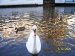 Swans and ducks