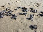 babies -leatherback-turtles
