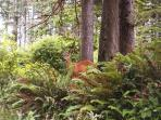 Deer abound in area forests and sometimes walk through Netarts