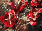 Very rare but very beautiful Sturt's Desert Pea