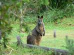 Wallaby on lawn at Kanimbla View