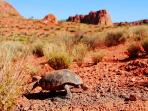 Desert Tortois In Snow Canyon 5 Minute Drive