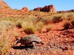 Desert Tortois Snow Canyon
