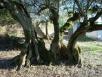 Our old olive tree - in the region of 1000 years old we are told
