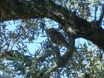 Keeping an eye on things at the Quinta - a Little Owl in one of the olive trees