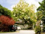 White shower tree view from the street
