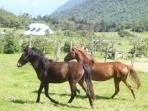 QUILLOTURO HORSES