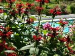 Monarda and Penstemon