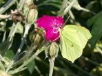 A Brimstone in August