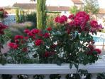 Roses along terrace