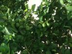 Limon Tree in Our Yard
