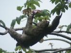 Nearby trees are a hangout for our sloths