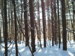 Tall pines and hemlocks out back - fun to ski through.