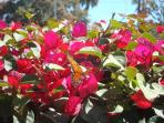 Butterfly and bougainvillia