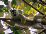 See lots of amazing wildlife, including Cappuccino monkeys.